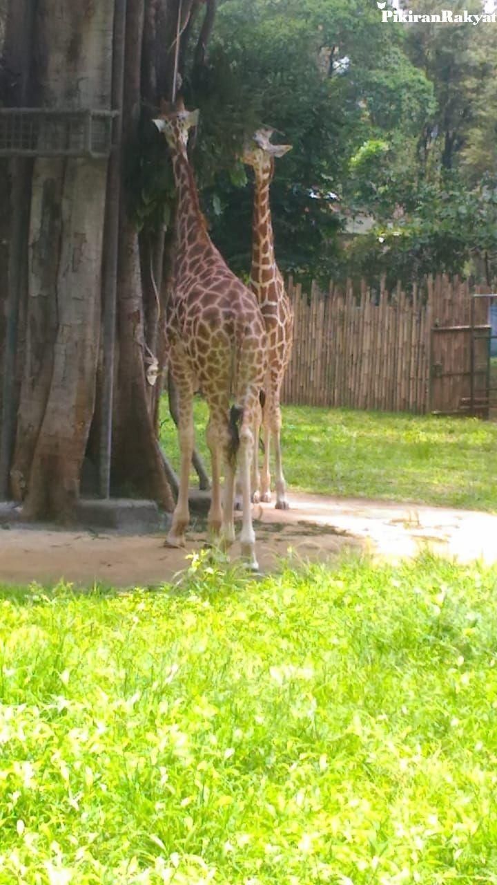 Mulai 1 Maret Zona Afrika di Kebun Binatang Bandung Bisa Dilihat, Sulhan: Nantinya Pengunjung Bisa Memberi Makan Jerapah